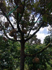 Vườn sầu riêng cạnh thuỷ điện Tân Lộc
